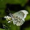 Falcate Orangetip (female), Phelps Wildlife Management Area, Remington, VA