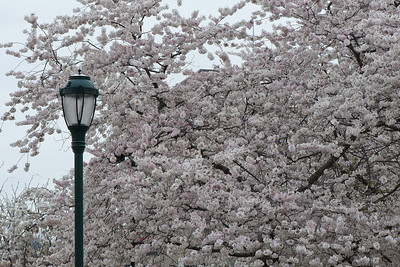 Cherry blossoms, Philadelphia.