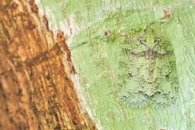 Lichen camouflaged flatid hopper