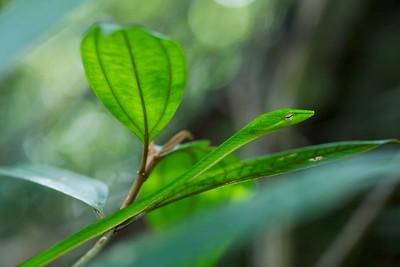 Green oriental whip snake (Ahaetulla prasina)