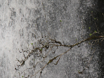 Black Spout Tree