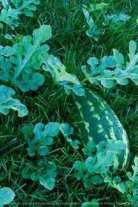 015-watermelon-altoona-01oct13-4485