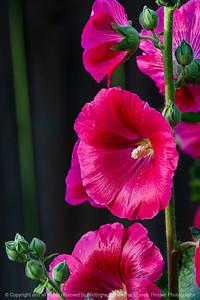 015-flower_hollyhock-ankeny-27jun19-08x12-008-500-1339