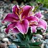 015-flower_lily-ankeny-24jun16-09x09-006-2546