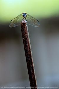 015-dragonfly-ankeny-24jul19-06x09-009-350-2117
