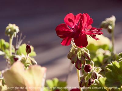015-flower_geranium-ankeny-25jun17-12x09-350-3333