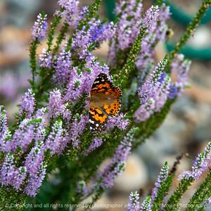 015-butterfly-ankeny-31jul19-09x09-006-500-2505