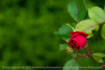 015-flower_rose-ankeny-23may17-18x12-003-9270