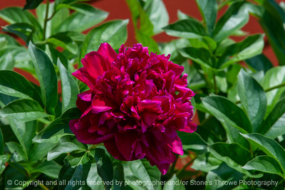 015-flower-_peony-ankeny-02jun19-12x08-008-500-0660