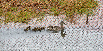 015-duck_mallard-ankeny-02may18-09x4.5-007-4162