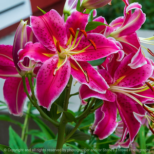 015-flower_lily-ankeny-13jul21-09x09-006-400-3780