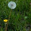 015-dandelion-ankeny-22apr15-09x12-001-7907