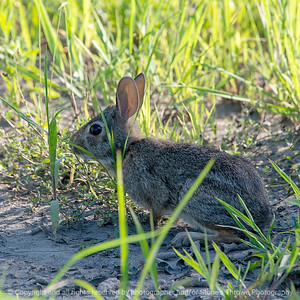 015-rabbit-ankeny-02jul18-09x09-006-350-5981