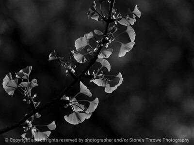 015-leaves_ginkgo-ankeny-09may18-12x09-000-350-bw-4604