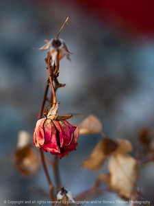 flower_rose-ankeny-19feb16-09x12-001-6422