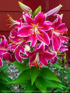 015-flower_lily-ankeny-13jul21-09x12-001-400-3787