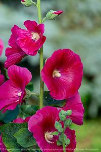 015-flower_hollyhock-ankeny-27jun19-08x12-008-500-1346