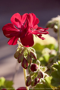 015-flower_geranium-ankeny-25jun17-04x06-350-3333