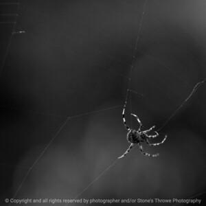 015-spider-ankeny-10sep16-12x12-006-bw-5632