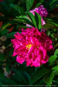 015-flower_peony-ankeny-31may21-08x12-008-400-2390