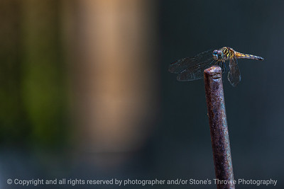 015-dragonfly-ankeny-24jul19-12x08-008-350-2097