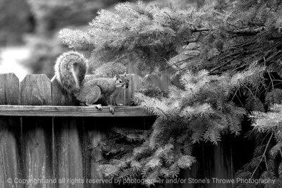 015-squirrel-ankeny-27sep18-12x08-008-350-bw-7950