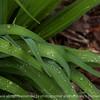015-leaf_dew_drops-ankeny-01may16-18x12-003-8255