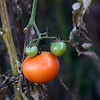 tomato-ankeny-17oct15-09x12-001-5627