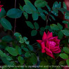 015-flower_rose-ankeny-25may16-18x12-003-2472