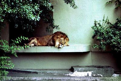 015-lion-atlanta_ga-summer1980-12x08-007-300-8005