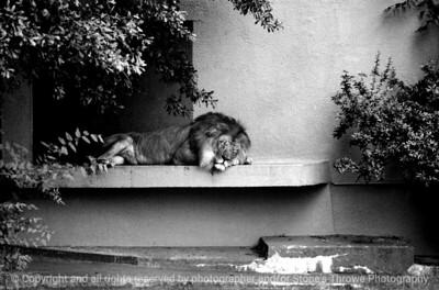 015-lion-atlanta_ga-summer1980-10x6.6-007-300-bw-8005
