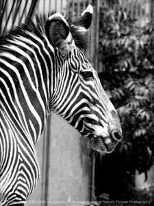 015-zebra-nlg-ndg-bw-8003