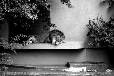 015-lion-atlanta_ga-summer1980-12x08-007-300-bw-8005