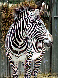 015-zebra-nlg-ndg-8002