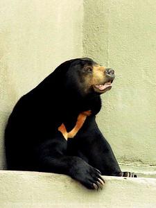 015-sun_bear-ndg-nlg-001-8010