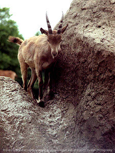 015-mountain_goat-nlg-ndg-001-8001