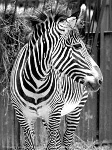 015-zebra-nlg-ndg-bw-8002