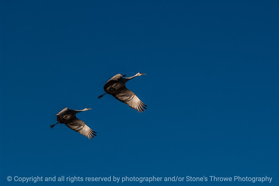 015-birds-bosque_del_apache_nm-02dec06-12x08-008-350-3216