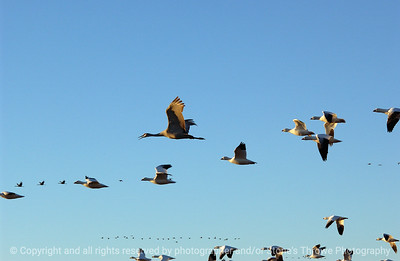 birds-bosque_del_apache_nm-01dec06-3123