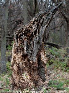 015-tree_stump-wdsm-09nov14-09x12-201-0635