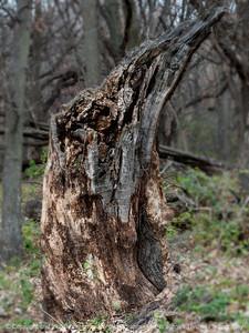 015-tree_stump-wdsm-09nov14-09x12-201-0635
