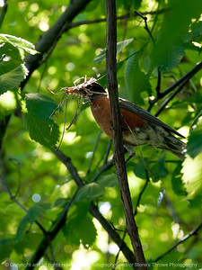 015-bird_robin-clive-13jun13-1082