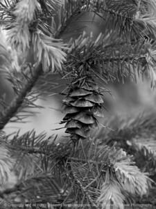 015-pine_cone-ankeny-07may16-09x12-001-bw-8591