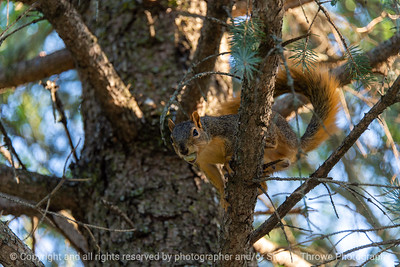 015-squirrel-ankeny-27aug19-12x08-008-500-3060