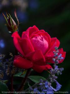 rose-wdsm-25may15-09x12-001-3468