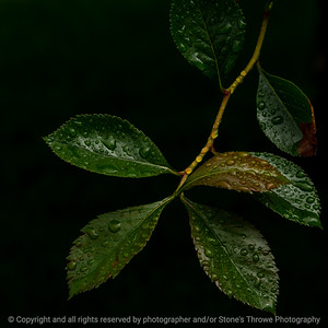 015-leaves-wdsm-20may21-09x09-006-400-1175