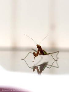 015-insect_praying_mantis-wdsm-16sep13-001-4214