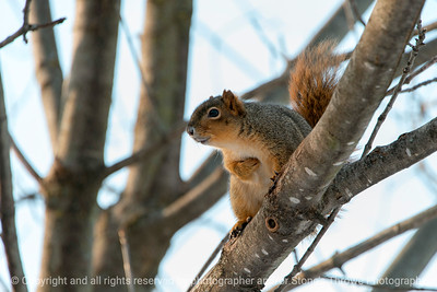 015-squirrel-wdsm-07jan18-12x08-007-3503