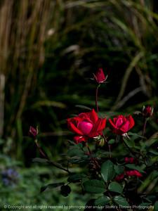 flower_rose-wdsm-25sep15-09x12-001-5292