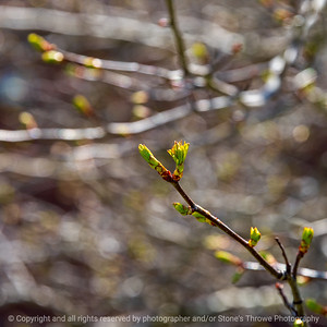 015-leaf_buds-wdsm-21apr20-09x09-006-400-6522